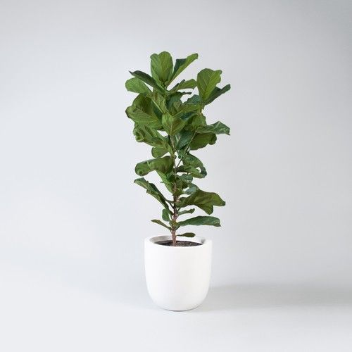 Emma Sadie Thomson Fiddle Leaf Fig