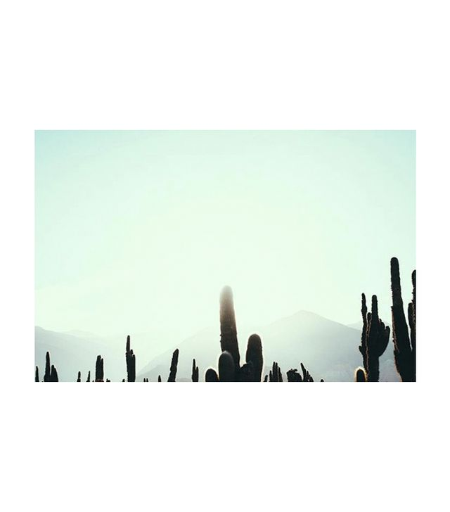 Pampa Cactus