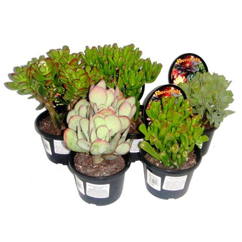120mm Crassula Succulents Assorted