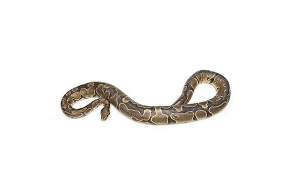 The Evolution Store Royal Python