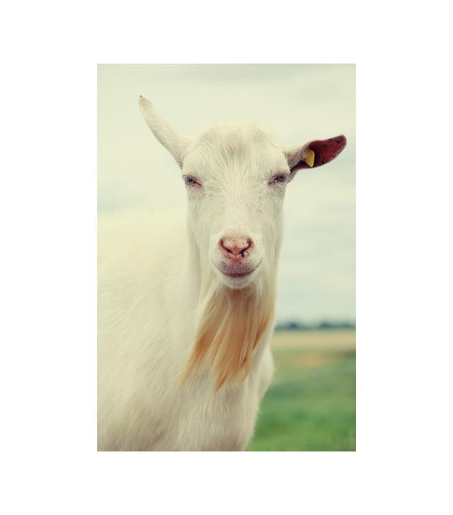 Goat by Falko Follert