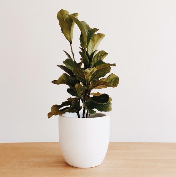 Domus Botanica Bambino fiddle leaf fig