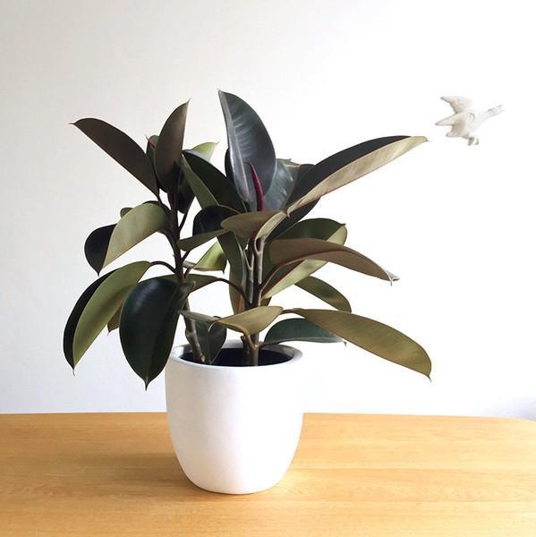 Domus Botanica Rubber Plant