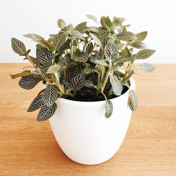 Domus Botanica Nerve Plant