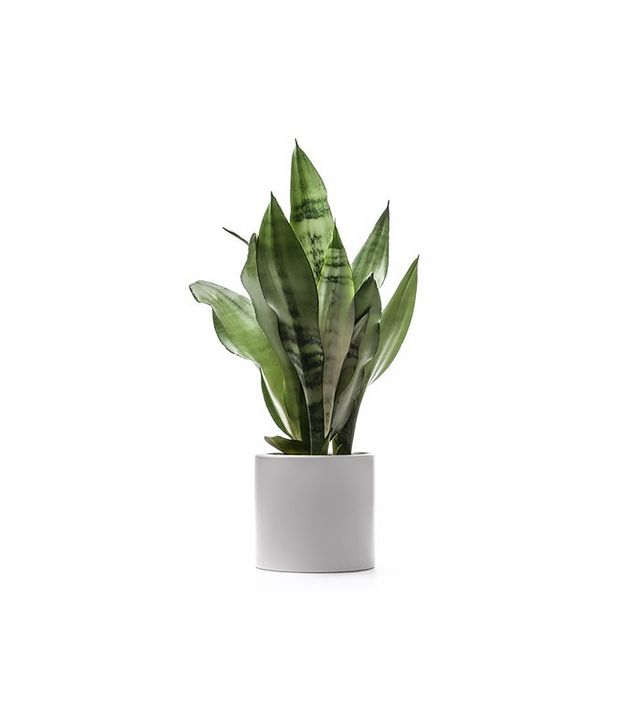 Delray Plants Snake Plant