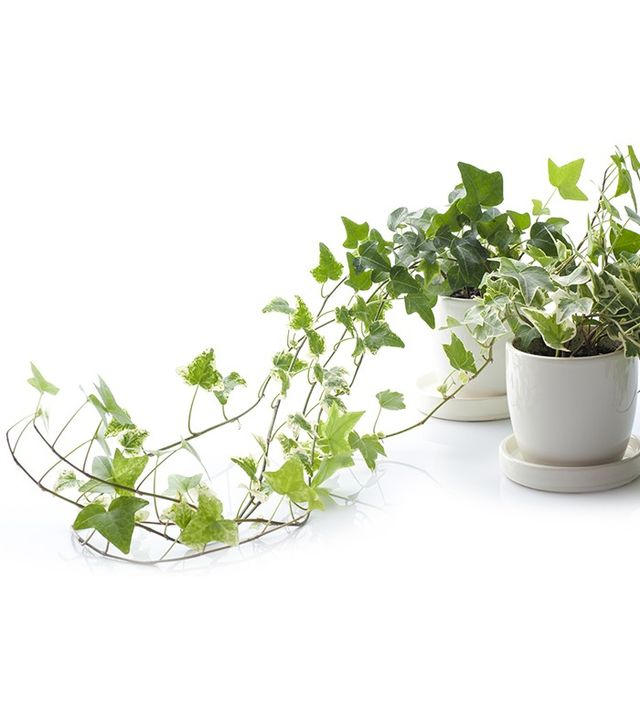 Plant Shed English Ivy Plant
