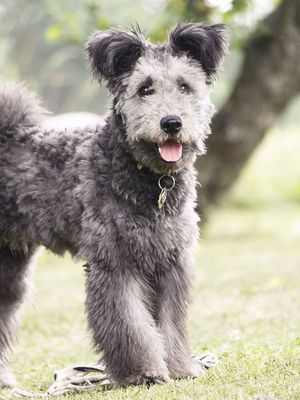 Introducing Your New Favorite Dog: The Pumi