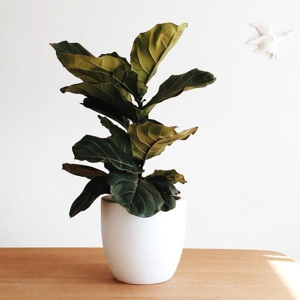 Domus Botanica Fiddle leaf fig