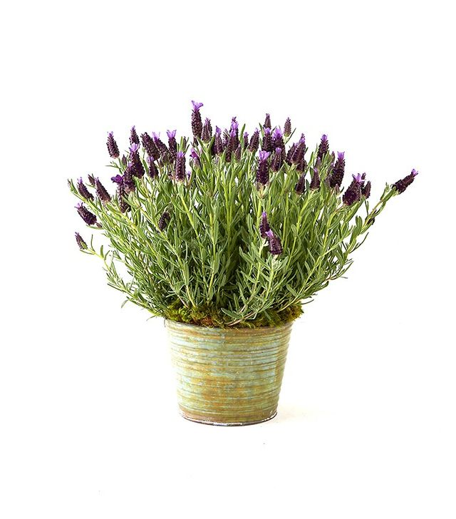 Terrain Spanish Lavender