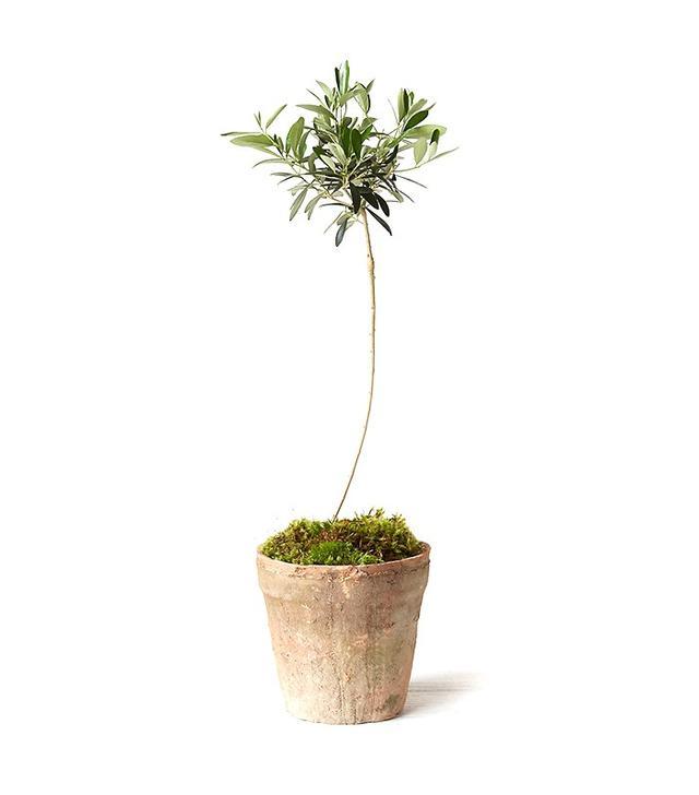 Terrain Olive Tree Topiary