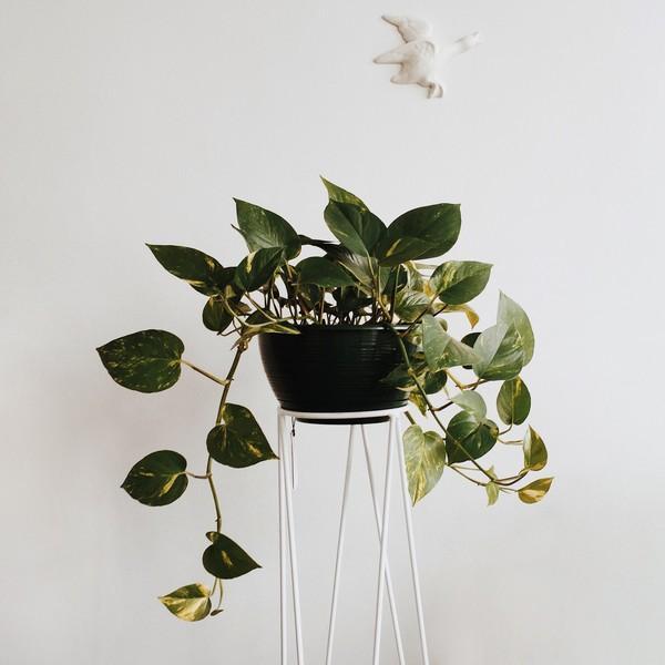 Domus Botanica Devil's ivy (trailing)