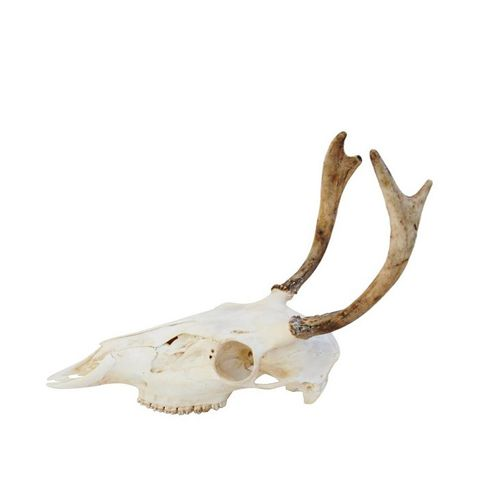 Deer Skull & Antlers