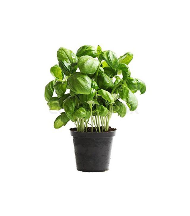 Bellacia Garden Basil Genovese Plant