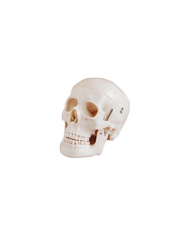 hBARSCI Human Skull Atanomical Model