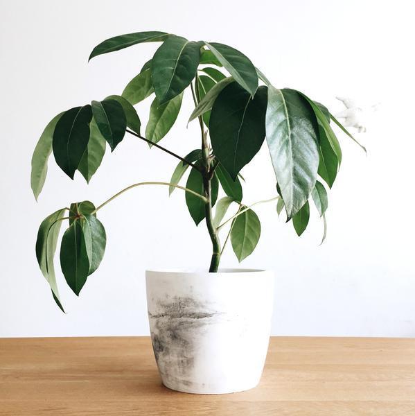 Domus Botanica Schefflera