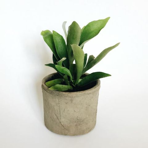 Elkhorn Fern in Concrete Planter