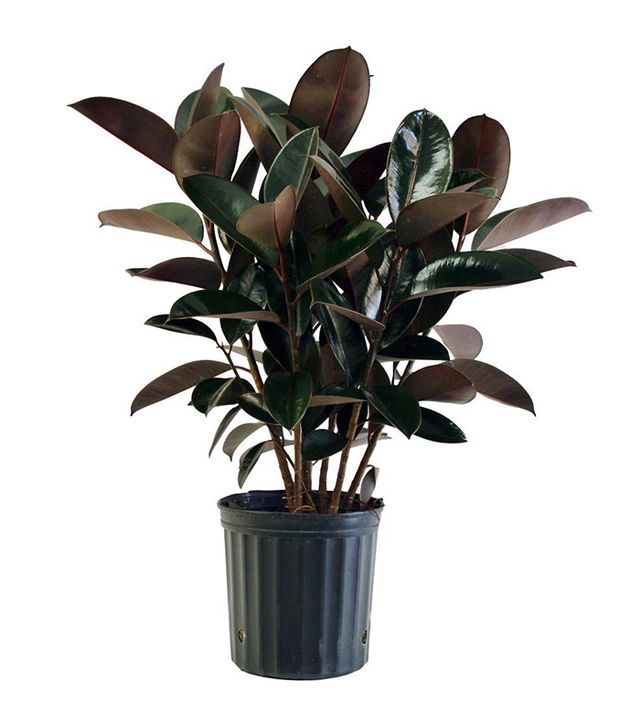 Home Depot Burgundy Rubber Plant