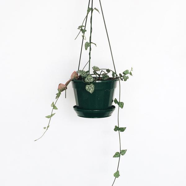 Domus Botanica Chain of Hearts Hanging Basket