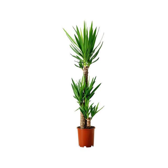 IKEA Yucca Elephantipes Potted Plant