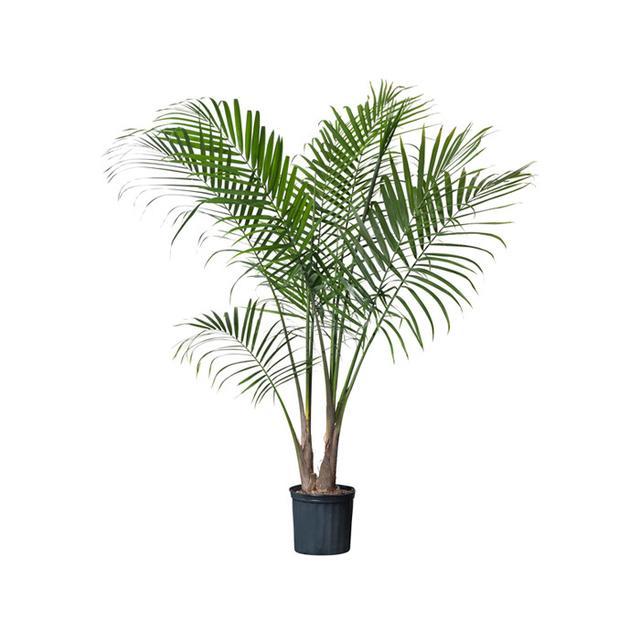 IKEA Ravenea Potted Plant, Majesty Palm