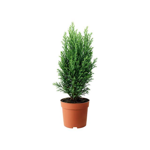 IKEA Chamaecyparis Potted Plant, False Cypress