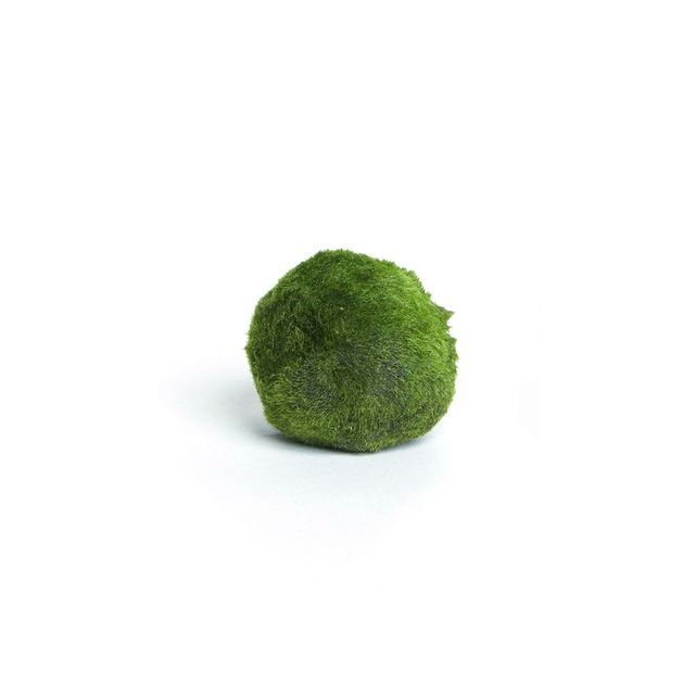 The Sill Marimo Moss Water Ball