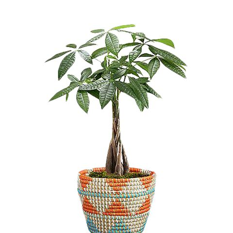 Tribal Money Tree