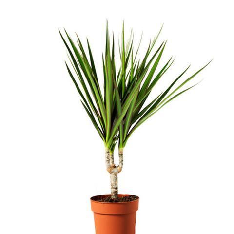 Potted Plant, Dragon Tree, 1 Stem