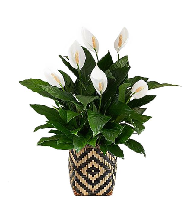 ProPlants Peace Lily