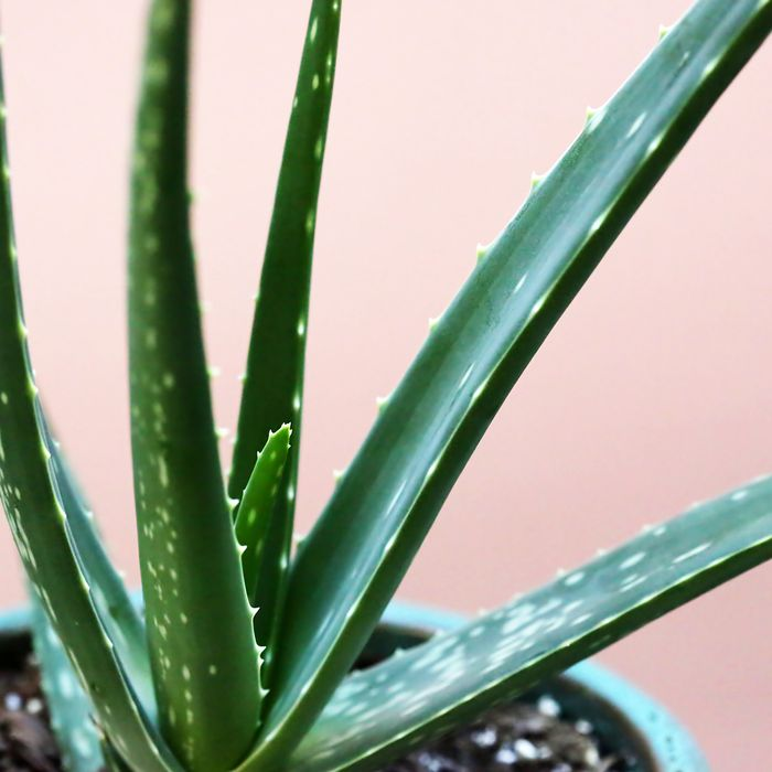 6 Amazing Uses for Aloe Vera