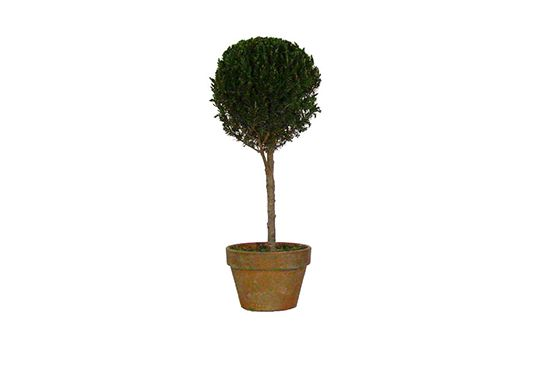 Fresh Topiary Juniper Single Ball Topiary