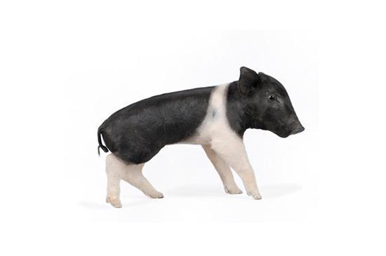 Evolution Piglet - Sus Scrofa