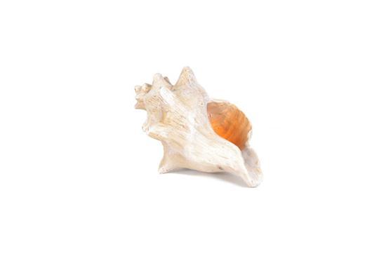 Kirkland's  Conch Shell