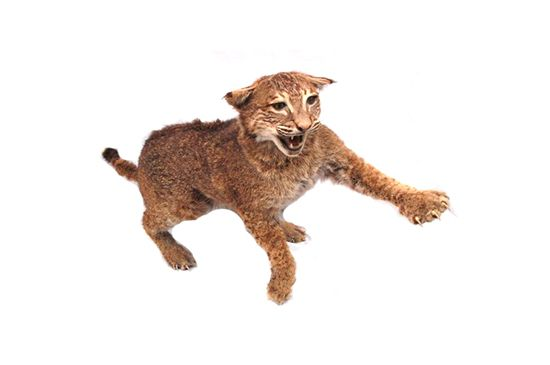 Ebay Bobcat Taxidermy