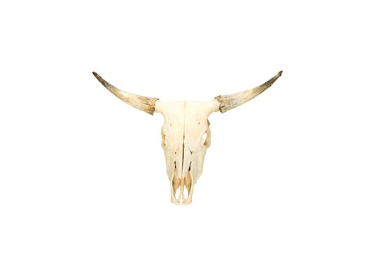 Evolution Store  Steer Skull