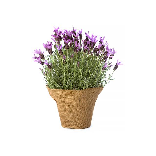 Terrain Spanish Lavender Plant