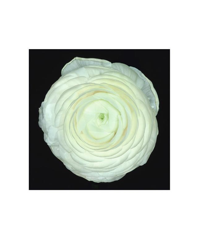 Ron Agam White Ranunculus