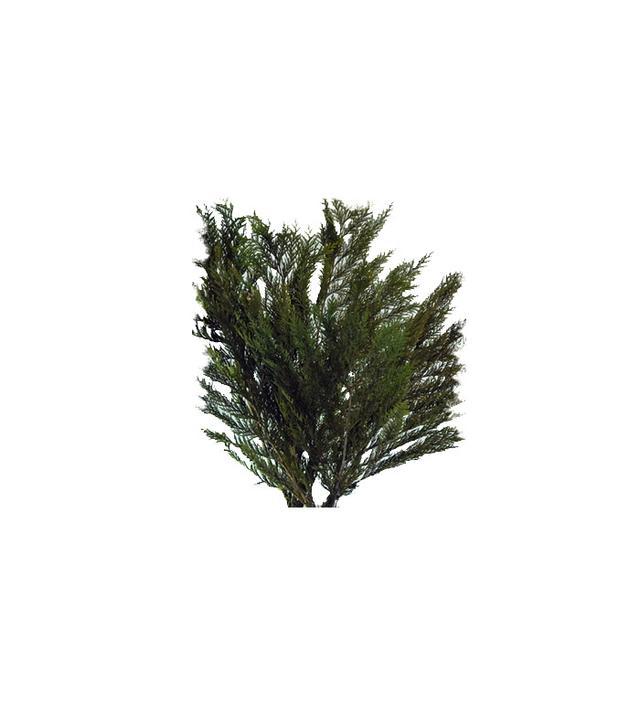 Preserved Cedar Branches