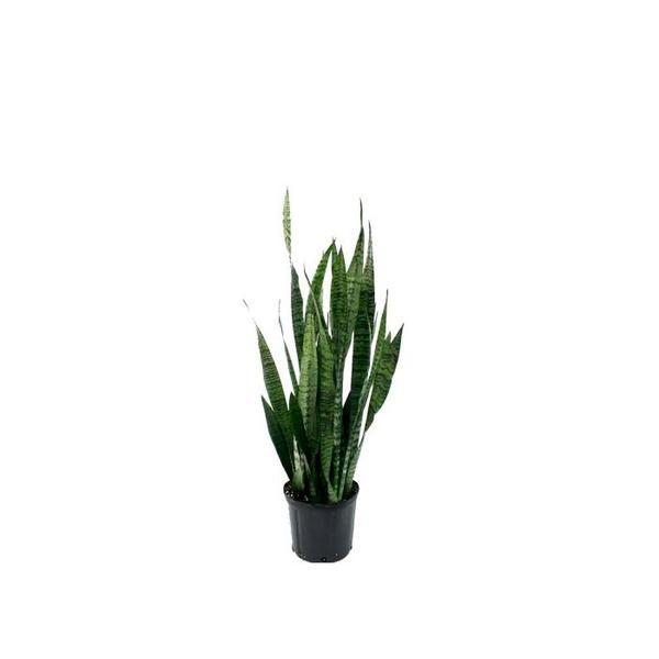 Delray Plants Sansevieria Zeylanica in Pot
