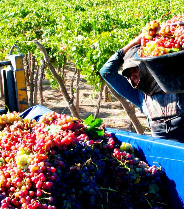 The Grape Harvest in Argentina