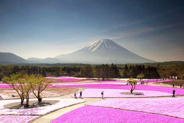 At the foot of Mount Fuji in Japan are fields of pink moss wildflowers, their yearly bloom celebrated during the Fuji Shibazakura Festival.  Location: Mount Fuji, Japan