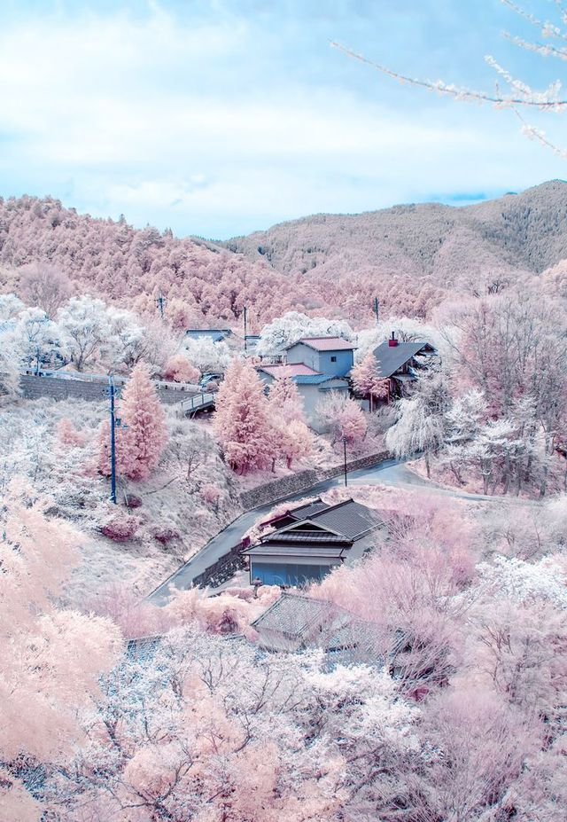 A hillside awash in the pastel pinks of blooming cherry blossoms in Nara, Japan, is a swoon of romance and natural beauty.  Location: Nara, Japan