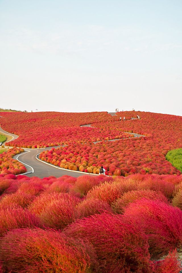 Hello, Dr. Seuss land! The whimsical and fiery landscape of Hitachi Seaside Park in Japan is utterly striking.  Location: Hitachi Seaside Park, Hitachinaka, Ibaraki, Japan