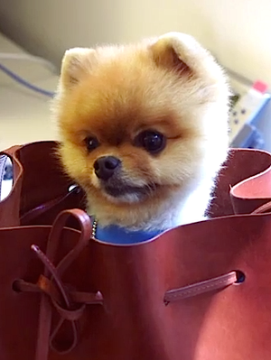 A Wildly Cute Pomeranian Wreaks Havoc At Lucky Magazine